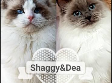 Shuggy e Dea, cuccioli in arrivo!